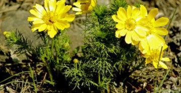 goricvet-adonis-vesenniy