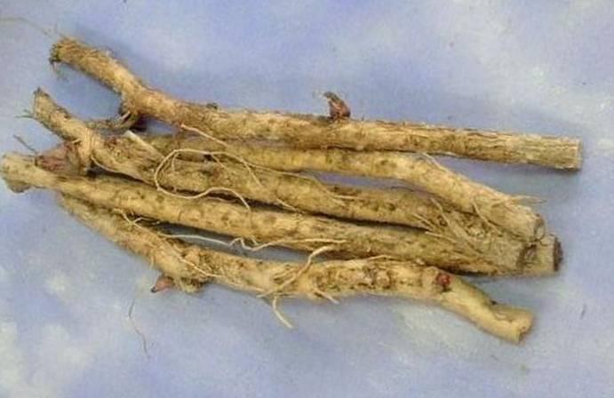 koren-aralii-manjurskoy