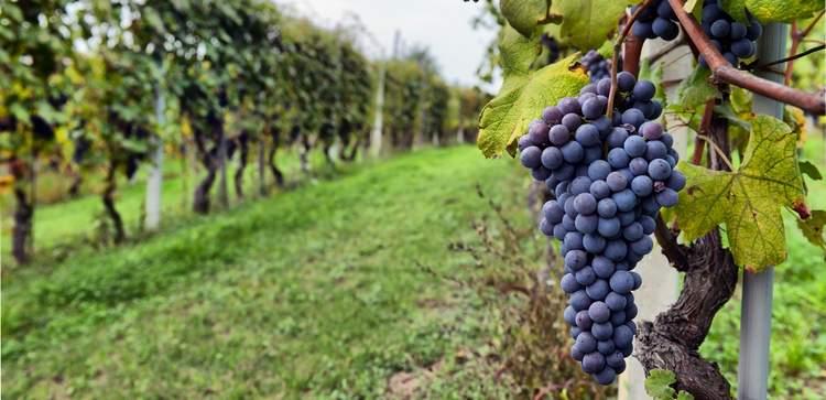 vinogradnik2