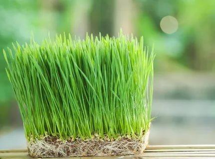 Как выращивать зародыши пшеницы в домашних условиях?