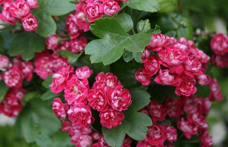 cvetki-boyaryshnika