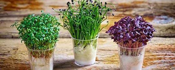 luchshie-sorta-kres-salata