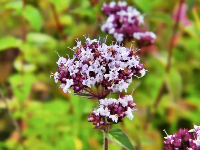 trava-dushica-cvety