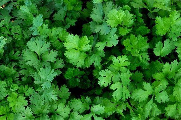 zelenaia-kinza
