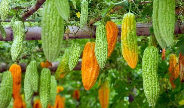 momordika-plodi