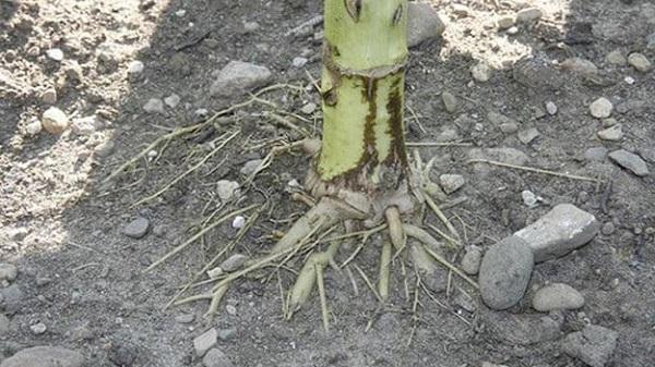 koren-podsolnuha