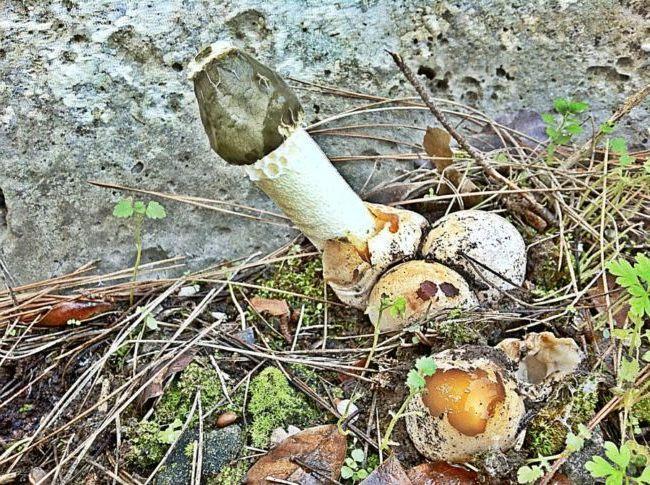 Забавный и очень полезный гриб веселка: описание, много фото. Где растет в России, как собирать и применять