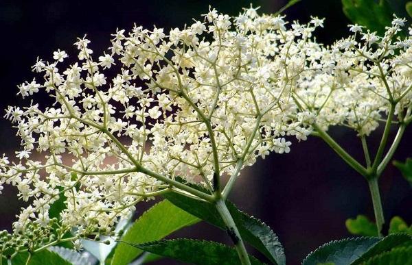buzina-chernaya-lechebnye-svojstva-opisanie
