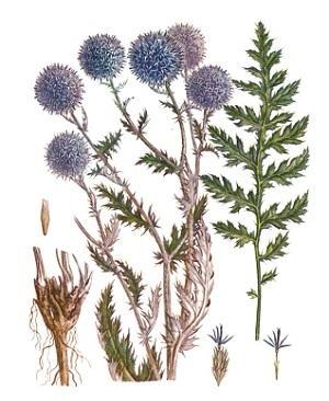 mordovnik-lechebnye-svojstva-i-protivopokazaniya 2